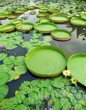 Victoria Amazonica e Nymphaea Tetragona Fotos de Stock
