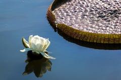 Victoria Amazonica Flower och blad arkivbild