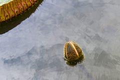 Victoria Amazonica Flower Water Lilies royalty-vrije stock afbeeldingen