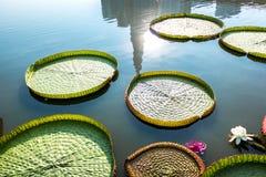 Victoria Amazonica Flowers e foglie fotografia stock