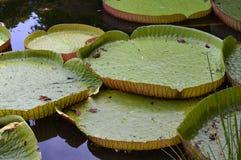 Victoria Amazonica, Giant Amazon Water Lily Stock Photography