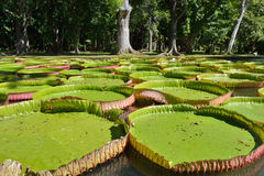 Victoria amazonica Royalty Free Stock Photography