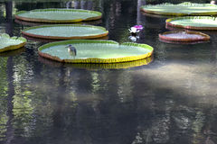 Victoria amazonica. Giant, amazonian lily in water at the Pamplemousess botanical Gardens in Mauritius. Victoria amazonica, Victoria regia Stock Image