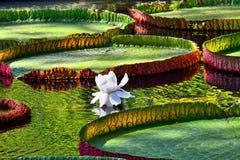 Victoria amazonica Stock Image