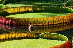 Victoria amazonica Stock Photo