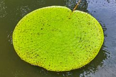 Victoria Amazonica Giant Water Lilies Royaltyfri Bild