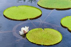 Victoria Amazonica Giant Water Lilies Royaltyfri Foto