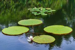 Victoria Amazonica Giant Water Lilies Arkivfoton