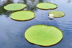 Victoria Amazonica Giant Water Lilies Arkivbild