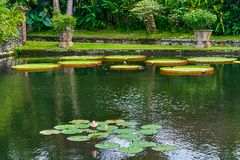 Victoria Amazonica Giant Water Lilies Royaltyfri Fotografi