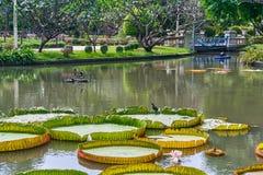 Victoria Amazonica Giant Water Lilies i härliga Suan Saranrom Fotografering för Bildbyråer