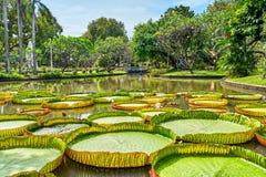 Victoria Amazonica Giant Water Lilies i härliga Suan Saranrom Arkivbilder