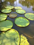 Victoria amazonica Giant Water Lily, Royal Water Lily stock photography