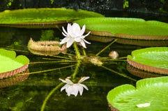 Victoria Amazonica (giant waterlily) Stock Photography