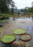 Victoria amazonica grand lotus Royalty Free Stock Image