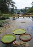 Victoria amazonica grand lotus Royalty Free Stock Image