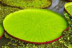 Victoria Amazonica Royalty Free Stock Photos