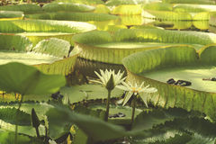 Victoria amazonica leaves and flowers Stock Images