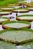 Victoria Amazonica lotus leaf Stock Photos