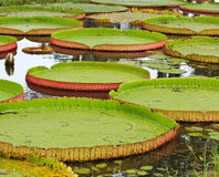 Victoria Amazonica lotus leaf Royalty Free Stock Photography