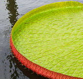 Victoria Amazonica lotus leaf Stock Images