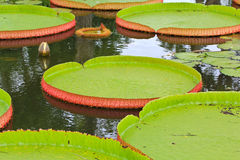 Victoria Amazonica lotus leaf Stock Photography