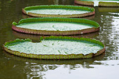Victoria Amazonica or Lotus leaf. Victoria Amazonica in the pond Royalty Free Stock Image