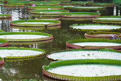 Victoria Amazonica or Lotus leaf Royalty Free Stock Photography