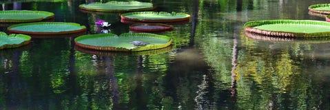 Victoria-amazonica, Mauritius Lizenzfreies Stockbild