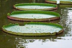 Victoria Amazonica- oder Lotus-Blatt Lizenzfreies Stockbild