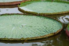 Victoria Amazonica- oder Lotus-Blatt Stockbilder