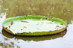 Victoria Amazonica- oder Lotus-Blatt Stockfotos