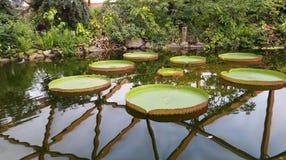 Victoria Amazonica part dans le parc de zoo de Rotterdam images libres de droits