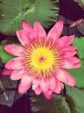 Victoria amazonica. Pink victoria amazonica flower Stock Photo