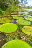 Victoria Amazonica Plants Stock Photography