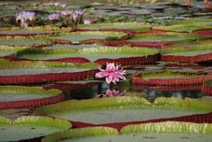 Victoria Amazonica - Reuzewaterlelie stock foto