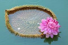 Victoria Amazonica, Reuzewaterlily-Latijn Uit de Amazone stock foto