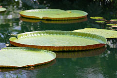 Victoria amazonica Royalty Free Stock Photo