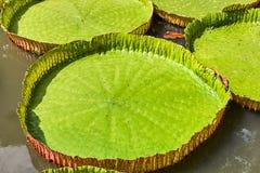 Victoria Amazonica Water Lilies Arkivbild