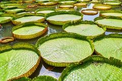 Victoria Amazonica Water Lilies Fotografering för Bildbyråer