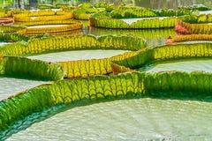 Victoria Amazonica Water Lilies closeup Arkivbilder