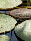Victoria amazonica water lily Royalty Free Stock Image