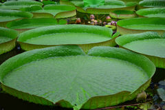 Victoria amazonica Stock Photography