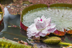 Victoria Amizonica Water Lily Photo libre de droits