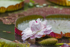 Victoria Amizonica Water Lily Royalty Free Stock Photography