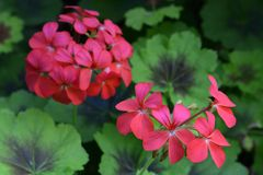 Victoria Butchart garden begonia red flower Stock Photography