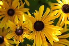 Victoria Butchart garden black-eyed Susan or gloriosa daisy  flower and bee Stock Image