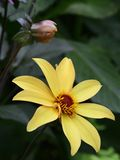 Victoria Butchart garden black-eyed Susan or gloriosa daisy  flower Royalty Free Stock Image