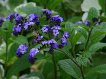 Victoria Butchart garden heliotrope or cherry pie plant flower and bee Royalty Free Stock Images
