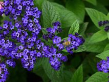 Victoria Butchart garden heliotrope or cherry pie plant  flower and bee Stock Images